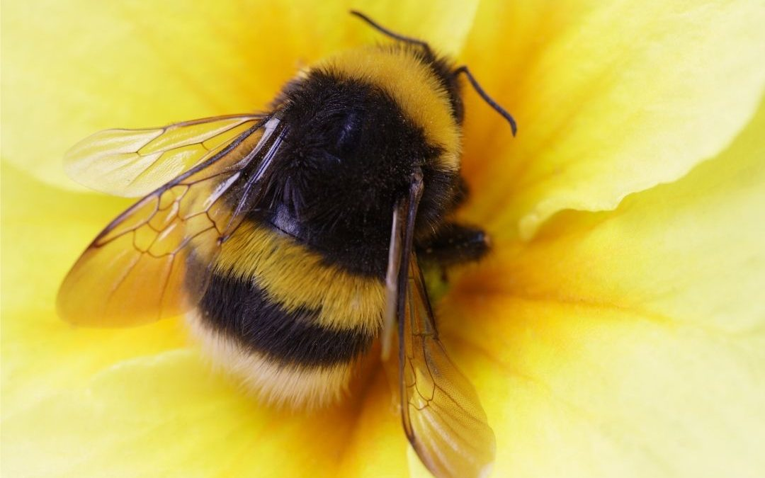big fuzzy bee on a flower