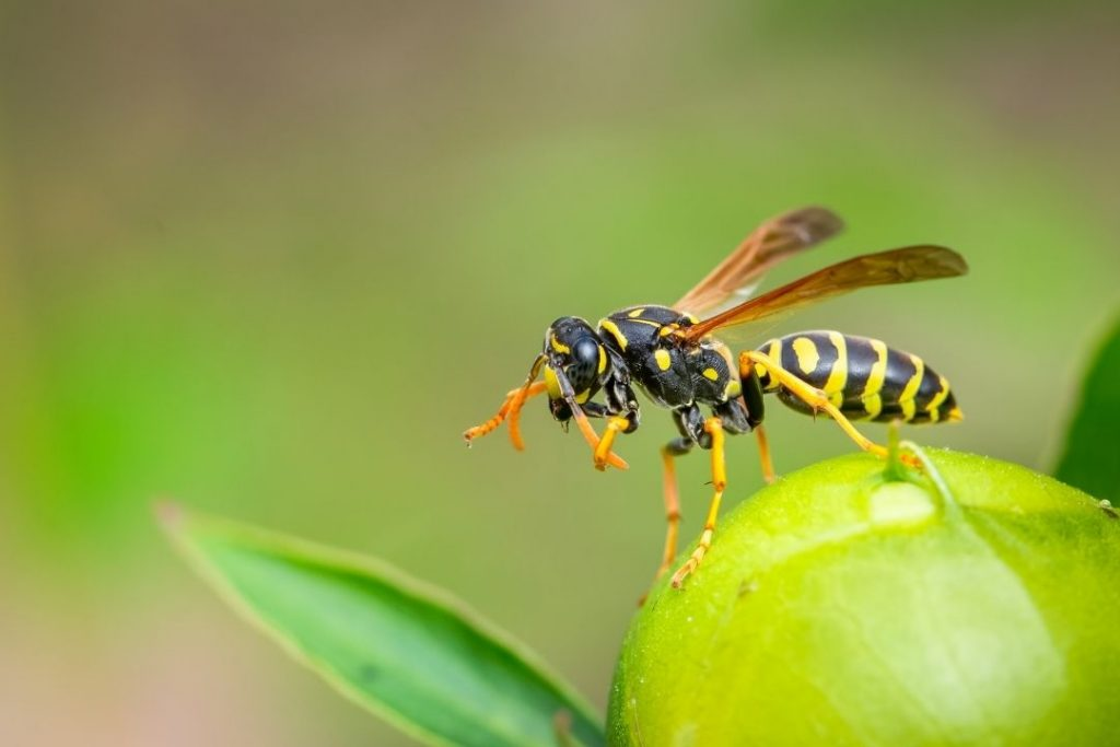 Wasp on a piece of fruit